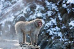 Japanischer Schnee-Affe im wilden Stockfoto