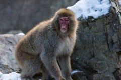 Japanischer Schnee-Affe im wilden Lizenzfreies Stockbild