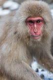 Japanischer Schnee-Affe im wilden Stockbilder