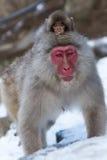 Japanischer Schnee-Affe im wilden Lizenzfreies Stockfoto