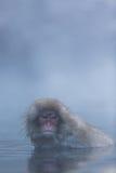 Japanischer Schnee-Affe im wilden Lizenzfreie Stockfotografie