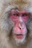 Japanischer Schnee-Affe im wilden Stockbild