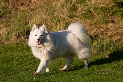 Japanischer Spitzhund lizenzfreies stockbild