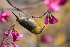 Japanischer Weiß-Augen-Vogel in den rosa und gelben Blumen Stockfotografie