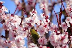 Japanischer Weißaugenvogel auf Pflaumenbaum Lizenzfreies Stockbild