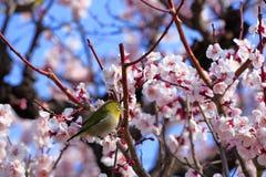 Japanischer Weißaugenvogel auf Pflaumenbaum Lizenzfreie Stockfotografie