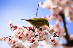 Japanischer Weißaugenvogel auf Pflaumenbaum Stockfotografie