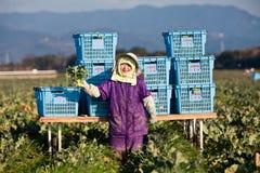 Japanischer weiblicher Landwirt auf einem Brokkoligebiet Stockfotos