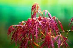Japanisches Acer palmatum, rotes Blatt auf grünem Hintergrund Stockfoto