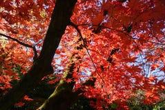 Japanisches Ahornblatt auf japanisch stockfoto