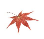 Japanisches Ahornblatt lokalisiert Stockbild