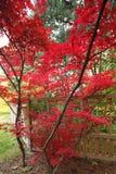 Japanisches Ahornholz Stockbilder
