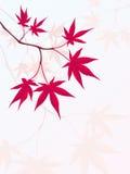 Japanisches Ahornholz Lizenzfreies Stockbild