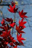 Japanisches Ahornholz Lizenzfreie Stockfotos