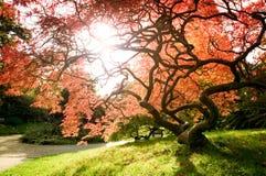 Japanisches Ahornholz Stockfotografie