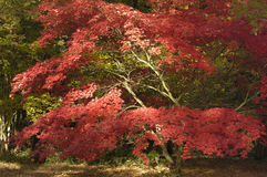 Japanisches Ahornholz - Acer palmatum Stockfoto