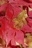 Japanisches Ahornholz - Acer palmatum Lizenzfreies Stockfoto