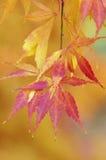 Japanisches Ahornholz - Acer palmatum Stockbild