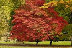 Japanisches Ahornholz - Acer palmatum Stockbilder