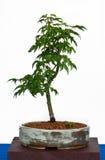 Japanisches Ahornholz als Bonsais Lizenzfreies Stockbild