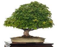 Japanisches Ahornholz als Bonsaisbaum Stockbild