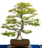 Japanisches Ahornholz als Bonsaisbaum Lizenzfreie Stockfotografie