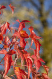 Japanisches Ahornholz-Baum Stockfotografie