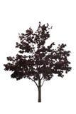 Japanisches Ahornholz-Baum Stockbilder