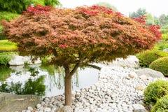 Japanisches Ahornholz-Baum Stockfoto