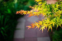 Japanisches Ahornholz-Grün Stockfotos
