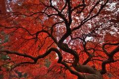 Japanisches Ahornholz im Herbst lizenzfreie stockfotos