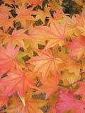 Japanisches Ahornholz Lutescens Stockbild