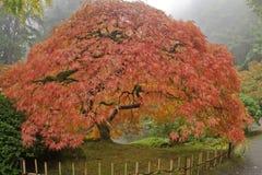 Japanisches Ahornholz am nebeligen Tag Stockbild