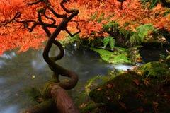 Japanisches Ahornholz während des Falles lizenzfreies stockbild
