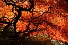 Japanisches Ahornholz während des Falles lizenzfreie stockbilder