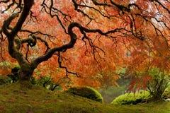 Japanisches Ahornholz - Weitwinkel Lizenzfreie Stockbilder