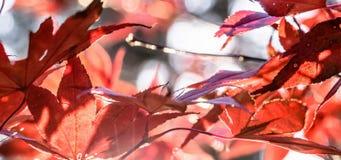 Japanisches Fanahorn Acer-SP gegen die Einstellungsherbstsonne Cl Stockfoto