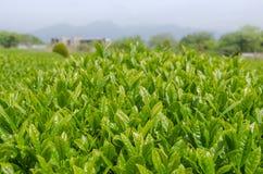 Japanisches Feld des grünen Tees in Shizuoka Lizenzfreie Stockfotos