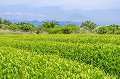 Japanisches Feld des grünen Tees in Shizuoka Lizenzfreie Stockbilder