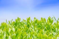 Japanisches Feld des grünen Tees in Shizuoka Lizenzfreie Stockfotografie