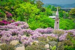 Japanisches Glyziniefestival während der Frühlingszeit Lizenzfreie Stockbilder
