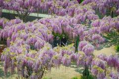 Japanisches Glyziniefestival während der Frühlingszeit Stockbilder
