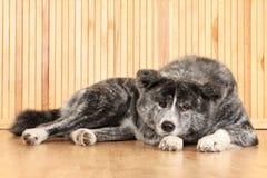 Japanisches Hundeportrait Akita-Inu Stockbild