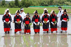 Japanisches junges Mädchen, das Reis pflanzt Stockbild
