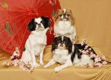 Japanisches Kinn-Trio Lizenzfreie Stockbilder