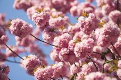 Japanisches Kirschblühen des Frühlinges Lizenzfreies Stockbild