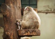 Japanisches macaco Lizenzfreies Stockfoto