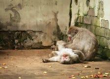 Japanisches macaco Lizenzfreie Stockfotos