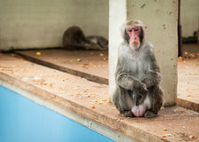Japanisches macaco Stockfotografie