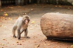Japanisches macaco Lizenzfreie Stockbilder